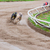Greyhound dogs racing stock photo © Juhku