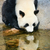 panda · água · gigante · rocha · tenha · parque - foto stock © juhku