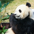 panda eating bamboo stock photo © juhku