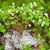 wood sorrel growing on birch tree stump stock photo © juhku