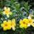 arany · trombita · gyönyörű · sárga · virág · szőlő · virág - stock fotó © juhku
