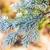 frozen spruce branch stock photo © juhku