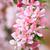 beautiful cherry blossoms stock photo © juhku
