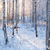 snowy birch forest and sun light stock photo © juhku