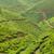 çay · Hindistan · manzara · bahar · ahşap · orman - stok fotoğraf © juhku