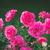 rosa · rose · rugiada · primo · piano · pastello · colorato - foto d'archivio © juhku