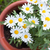 daisies in a pot viewed from above stock photo © juhku