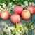 citromsárga · piros · almák · ág · gyümölcsös · fa - stock fotó © julietphotography