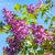 lila · tavasz · orgona · virágok · virágzó · közelkép - stock fotó © julietphotography