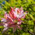 beautiful pink rhododendron flowers stock photo © julietphotography