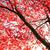 japonês · bordo · árvore · outono · amarelo · folhas - foto stock © julietphotography