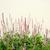 persicaria amplexicaulis firetail stock photo © julietphotography