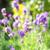 verão · lavanda · prado · flor · natureza - foto stock © Julietphotography