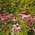 pink echinacea flowers in the garden stock photo © julietphotography