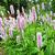цветения · клевера · полях · красный - Сток-фото © julietphotography