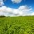 krumpli · mezők · homokos · föld · Tanzánia · férfi - stock fotó © julietphotography