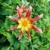 oranje · dahlia · bloem · mooie · geïsoleerd · witte - stockfoto © julietphotography