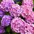 ピンク · 庭園 · 花 · 葉 · 夏 · 緑 - ストックフォト © julietphotography