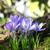 фиолетовый · цвета · Крокус · природы · лист - Сток-фото © julietphotography