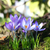 violet · kleur · krokus · natuur · blad - stockfoto © julietphotography