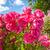саду · забор · роз · плющ · цветы - Сток-фото © julietphotography