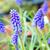 pretty muscari close up stock photo © julietphotography