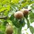 körte · akasztás · ág · gyümölcsfa · gyümölcs · zöld - stock fotó © julietphotography