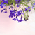 blue lobelia blooming flowers in the pink vase background stock photo © julietphotography