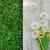 grunge · soyut · karahindiba · çiçek · yumuşak · odak - stok fotoğraf © karandaev
