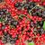 fresh ripe currant berries stock photo © karandaev