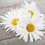 Daisy · rumianek · kwiaty · drewniany · stół · tle · lata - zdjęcia stock © karandaev
