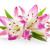 три · розовый · Лилия · изолированный · белый · весны - Сток-фото © karandaev