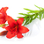 два · красный · Лилия · изолированный · белый · цветок - Сток-фото © karandaev