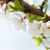 sakura cherry blossom stock photo © karandaev