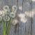 bois · résumé · fleurs · pissenlit · fleur · texture - photo stock © karandaev