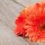 orange gerbera flowers on wooden background stock photo © karandaev