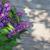 purple lilac flowers on garden table stock photo © karandaev