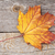 colorful autumn maple leaf stock photo © karandaev