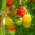 vermelho · tomates · cereja · videira · fruto · verde · mercado - foto stock © karandaev