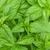 verde · basilico · fresche · isolato · bianco - foto d'archivio © karandaev
