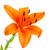 oranje · lelie · mooie · witte · bloem · tuin - stockfoto © karandaev