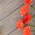 оранжевый · цветы · копия · пространства · природы · рождения - Сток-фото © karandaev