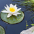 water lily stock photo © karandaev