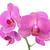pink orchid flowers stock photo © karandaev