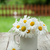 daisy chamomile flowers stock photo © karandaev