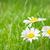 camomila · flores · campo · de · grama · ensolarado · verão · dia - foto stock © karandaev