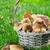 outono · cogumelos · cesta · grama · prado · madeira - foto stock © karandaev