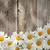 Daisy · rumianek · kwiaty · drewna · ogród - zdjęcia stock © karandaev