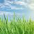 campo · verde · grano · nuvoloso · cielo · luce - foto d'archivio © karandaev
