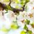 flor · de · cereja · japonês · jardim · sakura · flor · templo - foto stock © karandaev